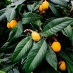 Фрукт мушмула или мальтийская слива — источник витаминов