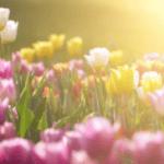 В Стамбуле высадили 8 миллионов тюльпанов