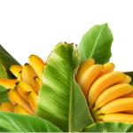 Производство бананов в Турции стремительно растет
