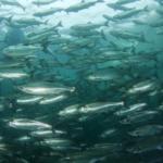 Турция экспортирует черноморского лосося в 30 стран