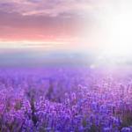 Как полюбоваться лавандовыми полями не находясь во Франции
