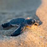 В Анталье начали откладывать яйца морские черепахи